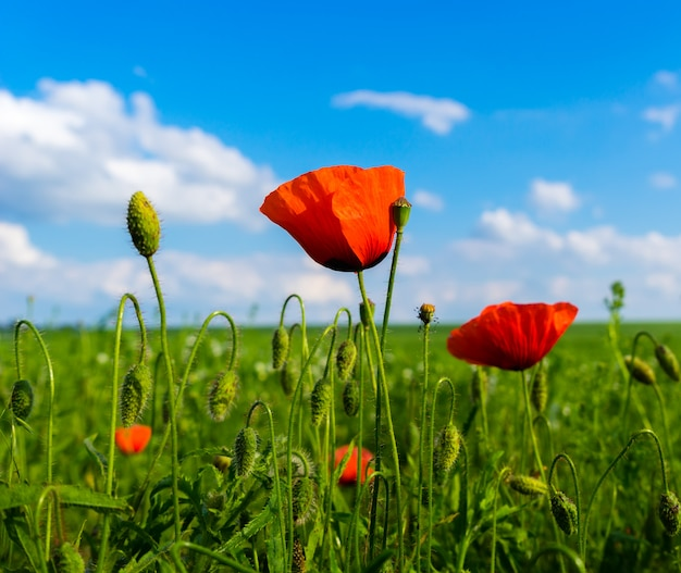緑の野原と雲と青い空に赤と緑のポピー Premium写真