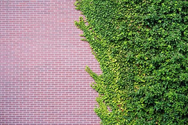 Сад дикий виноград с осенними листьями на красной кирпичной стене. дикий виноград на стене старого здания. Premium Фотографии