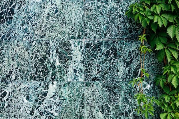 Красивая темно-зеленая мраморная стена с белыми прожилками и лазаньями дикого винограда. Premium Фотографии