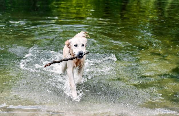 Красивая собака гуляет из воды Premium Фотографии