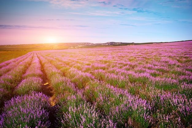 ラベンダーの草原。 Premium写真