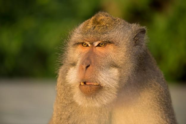 森の中の木の上に座っている大人の猿 Premium写真