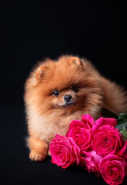 暗い背景に紫のバラのポメラニアン犬。花と犬 Premium写真