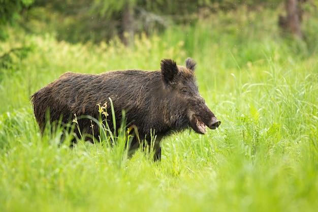 野生のイノシシが自然の牧草地で口を開いて噛んで笑顔。 Premium写真