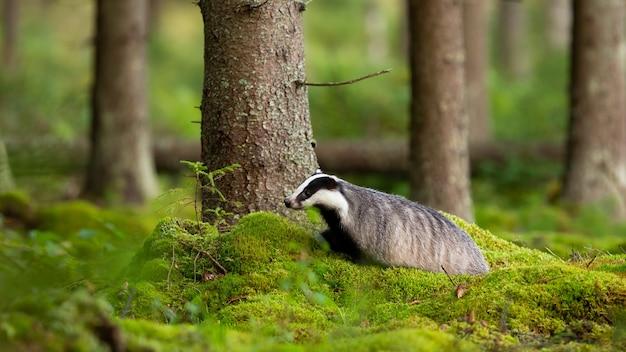 夏の森の緑の苔の上を歩くヨーロッパのアナグマ Premium写真