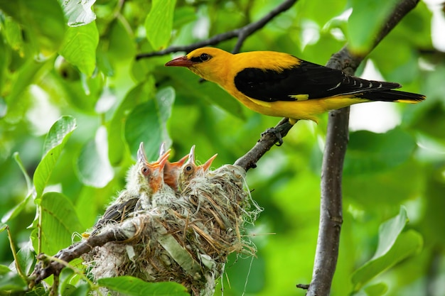 黄色と黒の羽の繁殖とユーラシア黄金オリオール Premium写真