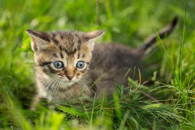 緑の芝生の小さなぶち子猫 Premium写真