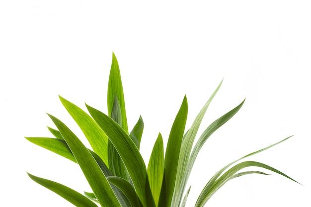新鮮な緑の草の分離 Premium写真