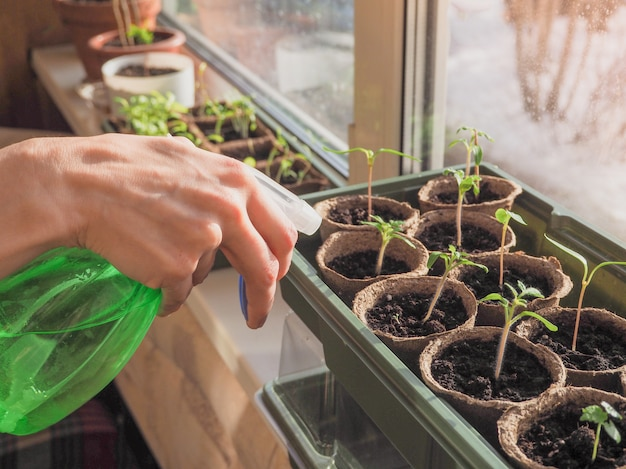 Опрыскивание рассады. полив ростков овощных культур. Premium Фотографии
