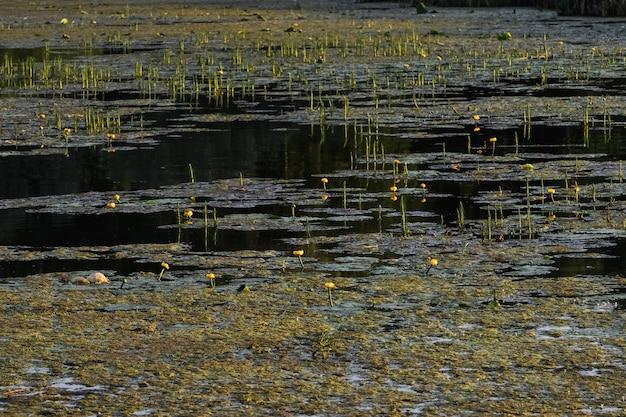 蓮は泥から育ちます Premium写真
