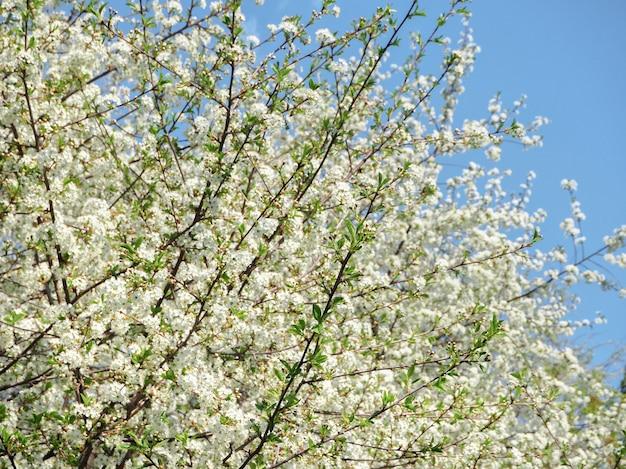 春の花の背景。春の日差しに咲く最初の桜。 Premium写真