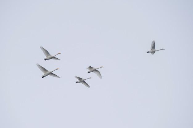 どんよりした秋の空を背景に飛ぶ白鳥の群れ Premium写真