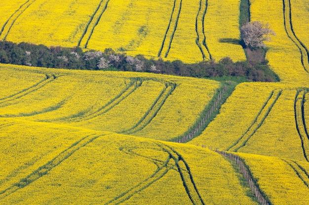 Красивые желтые поля рапса Premium Фотографии