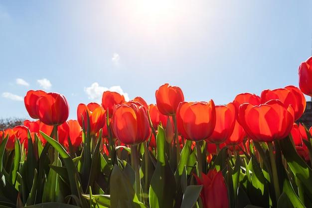 Красивые красные тюльпаны на фоне голубого неба Premium Фотографии