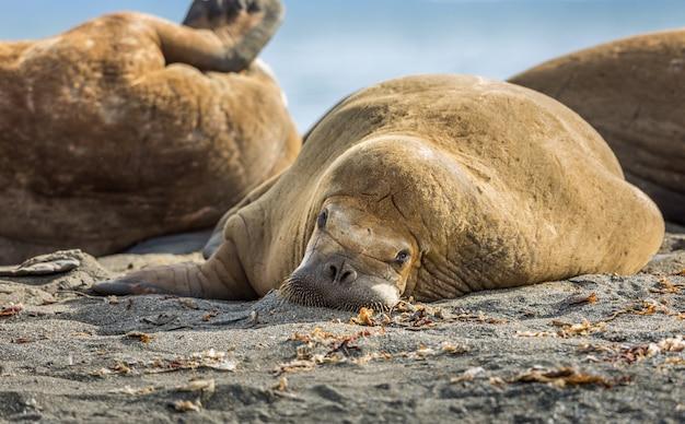 Морж отдыхает на пляже на шпицбергене Premium Фотографии
