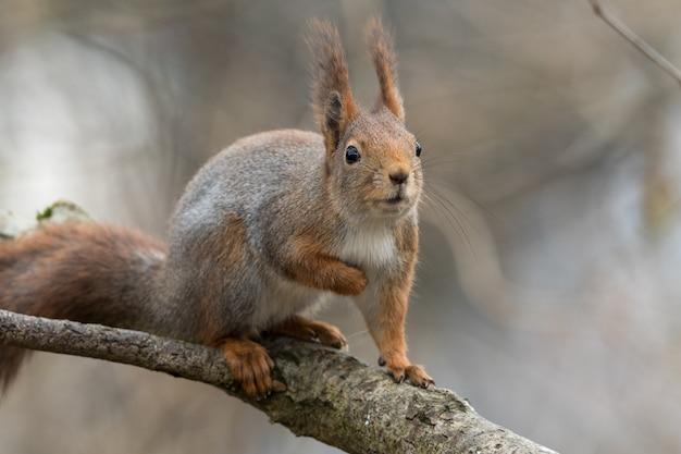 興味深く、好奇心が強い探している木の枝に座っているかわいい若い赤リス Premium写真