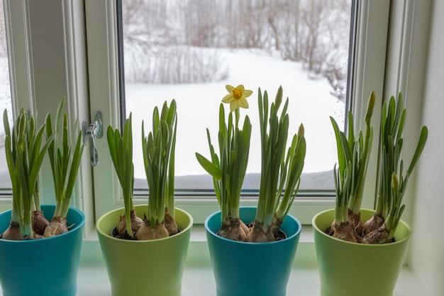 外で雪が降っている窓際の水仙、ドワーフ水仙のカラフルな植木鉢。春。 Premium写真