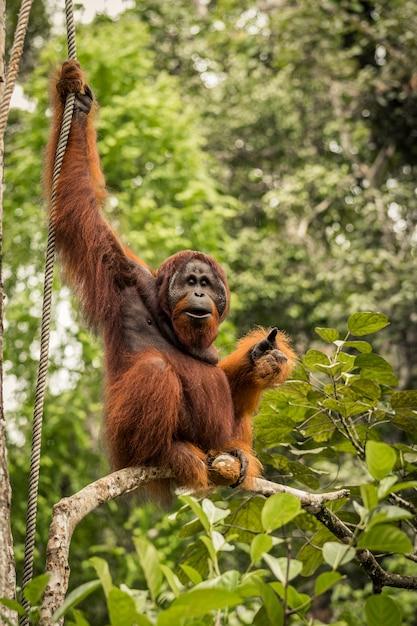 ボルネオ、マレーシアの枝に座っている野生の生きている大人の男性のオランウータン Premium写真