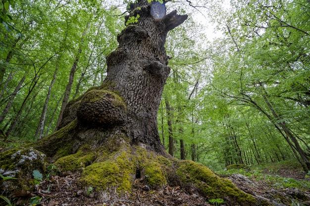 古い巨大なツリーの下を見上げてください。 Premium写真