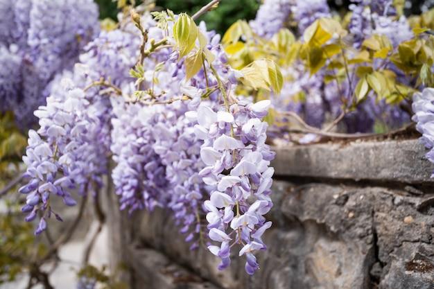 Голубой дождь вистерия цветет. китайская глициния и японский Premium Фотографии