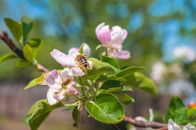 Цветущие деревья крупным планом и копирования пространство. пчела опыляет цветок на ветке Premium Фотографии