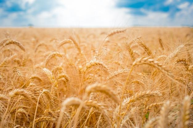 小麦と青い空の小穂を持つフィールド Premium写真