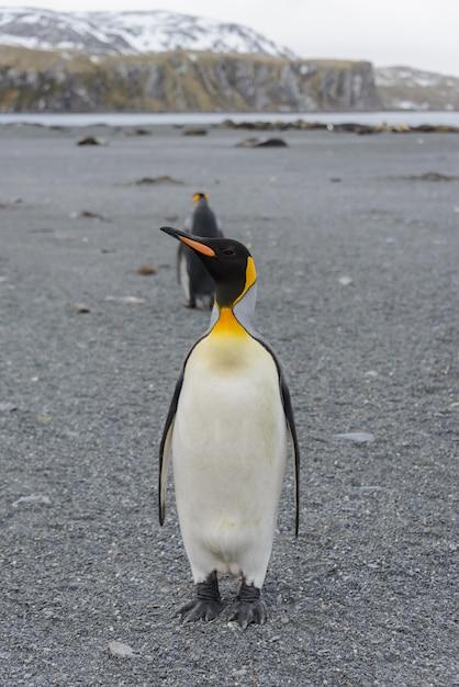サウスジョージア島のキングペンギン Premium写真