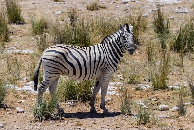 アフリカのサバンナを歩く野生のシマウマをクローズアップ Premium写真