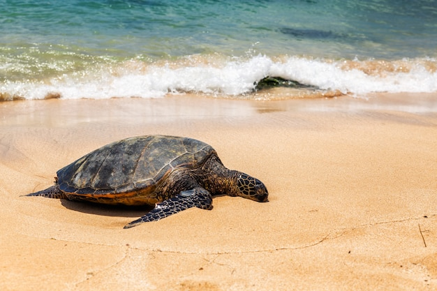 晴れた日、オアフ島、ハワイのラニアケアビーチで休んでウミガメのビューを閉じる Premium写真