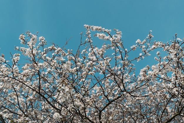 Белое вишневое дерево цветы в весеннем саду на фоне неба Premium Фотографии