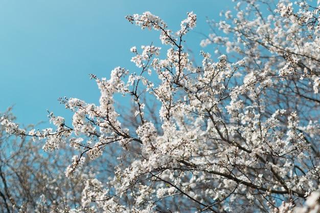 Белое вишневое дерево цветы в саду весной на фоне голубого неба Premium Фотографии