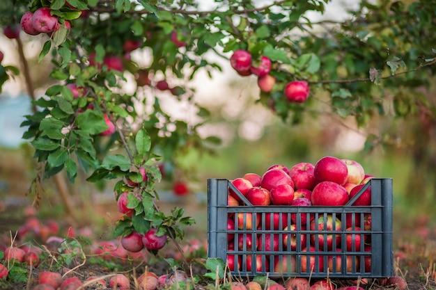 庭の木の下で、バスケットの有機赤いリンゴ Premium写真