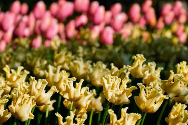 オランダ、キューケンホフ花壇に咲くチューリップの花壇 Premium写真
