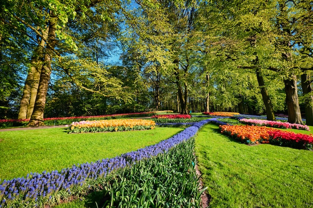 オランダ、キューケンホフのフラワーガーデンに咲くチューリップの花壇 Premium写真