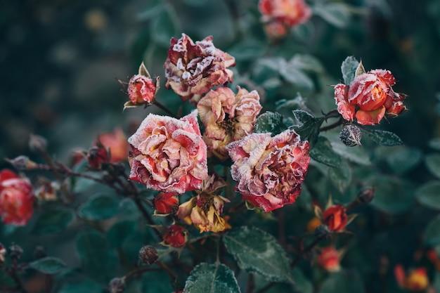 秋、自然の壁で夜の霜の後の冷凍のバラ Premium写真