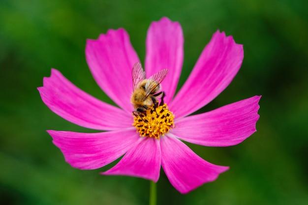 Шмель на цветке собирает нектар и опыляет, макро крупным планом Premium Фотографии