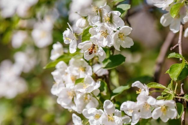Пчела опыляет ветку весенней яблони с белыми цветами Premium Фотографии