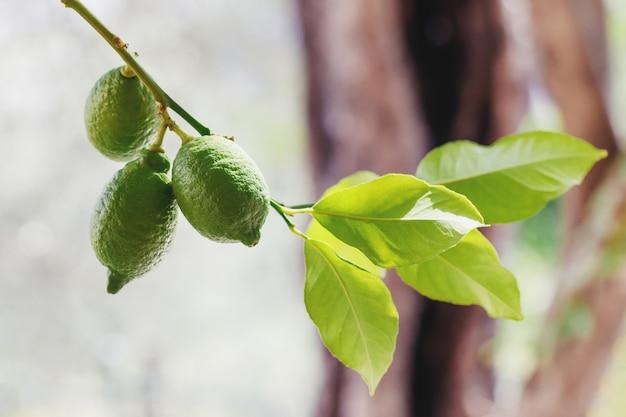 木に掛かっている緑の新鮮なライム Premium写真