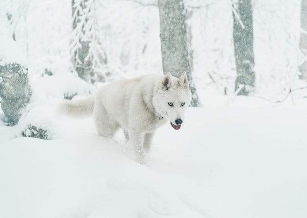 冬に歩くハスキー犬 Premium写真