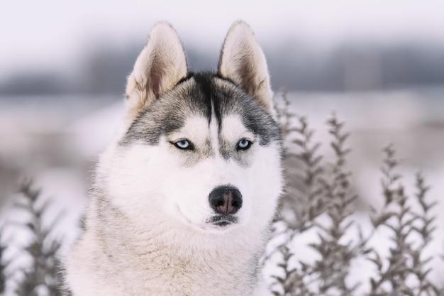 Сибирский хаски в горах зимой. портрет крупным планом Premium Фотографии