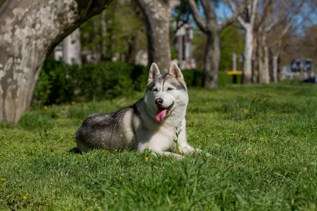 Макро портрет собаки. сибирский хаски с голубыми глазами. Premium Фотографии