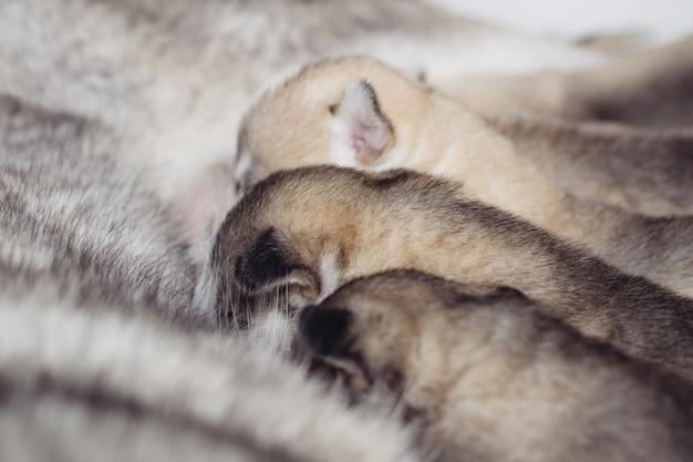 Новорожденные щенки сибирской хаски. питается материнским молоком. Premium Фотографии