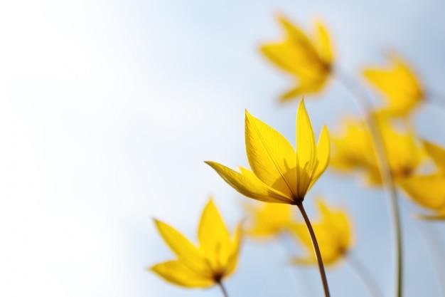 草原の花、ソフトフォーカスのチューリップシチカシルベストリスの野生の黄色い春の珍しい花 Premium写真