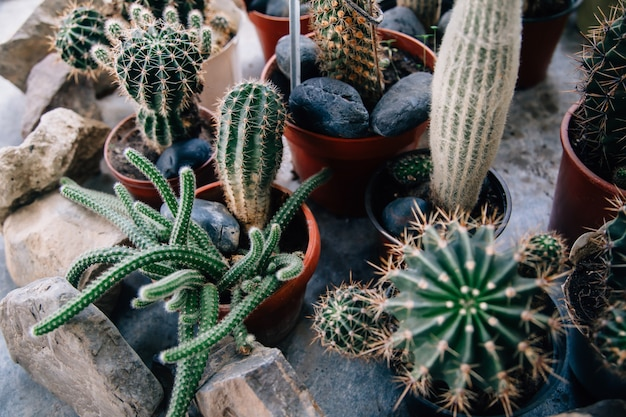 Большой кактус в горшках. забавный кактус для украшения дома. пушистый кактус с длинными иголками. красивый предмет интерьера. кактус между камнями. кактусы в цветочном горшке. Premium Фотографии
