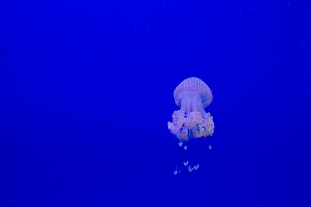 Голубая прозрачная медуза плавает через воду на голубой предпосылке. свободное место для текста Premium Фотографии