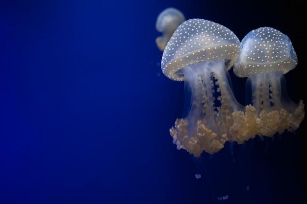 Пятнистая медуза плывет через воду на синем фоне. свободное место для текста Premium Фотографии