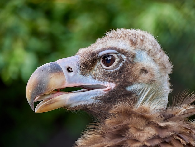 ハゲタカ肖像画鳥クローズアップマクロ動物園木 Premium写真