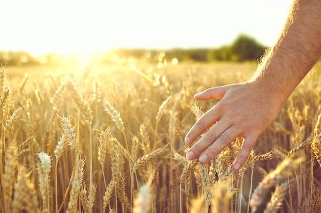 小麦畑。黄金の小麦の耳。美しい夕日の風景。 Premium写真