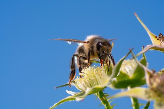 Шмель собирает пыльцу под лучами летнего солнца Premium Фотографии