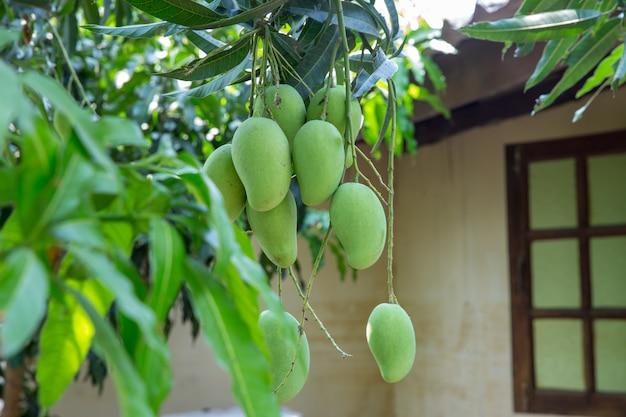 タイの生マンゴーの束 Premium写真